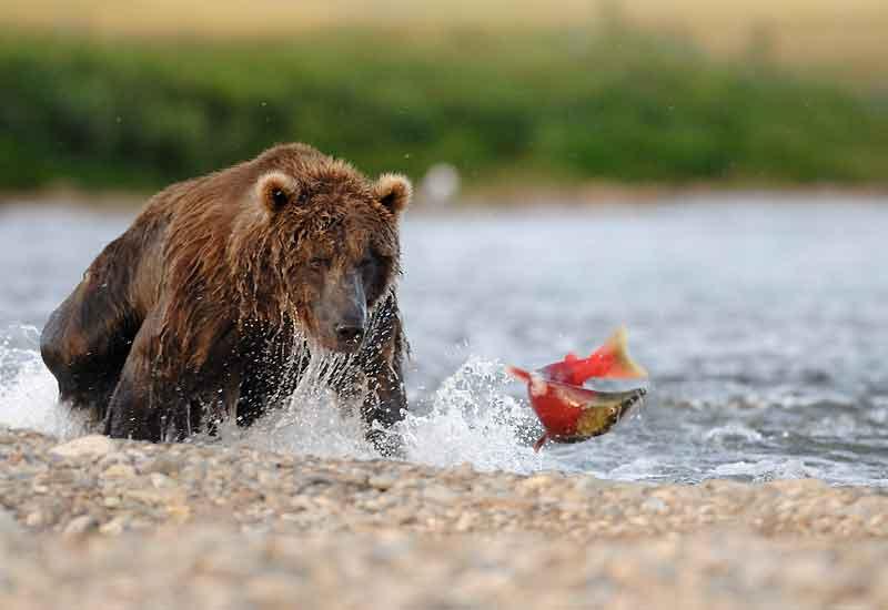 Ce saumon n'a aucune chance. D'un simple coup de patte, le grizzli lui ouvrira le ventre et le dévorera. C'est ainsi que cela se passe en Alaska depuis qu'il y a des rivières, des grizzlis et des saumons sockeye. Lorsque ces poissons entrent dans la période de reproduction, la tête des mâles devient vert olive, tandis que la face avant et la mâchoire supérieure se noircissent et que les flancs rougissent. Puis, de juin à novembre, ils remontent les rivières pour frayer. Parfois à plus de 1600 kilomètres de la mer. Commence alors le temps du festin pour les plantigrades, qui n'ont plus que l'embarras du choix pour faire leurs réserves de graisse pour l'hiver.