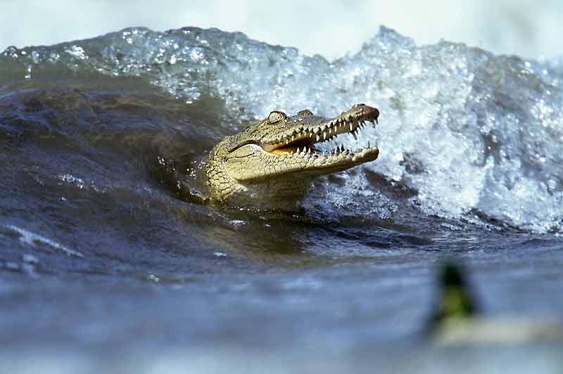 Souvent accusé de tuer du bétail, sans qu'aucun cas n'ait été avéré, le crocodile d'Amérique (Crocodylus acutus) continue à alimenter les plus folles rumeurs. Incroyablement adapté à de multiples environnements aquatiques, ce saurien, qui peut atteindre jusqu'à 7 mètres de long, se plaît aussi bien dans l'eau douce que dans l'eau salée, comme ici, bercé par les vagues du lago Enquirillo, en République dominicaine, un lac salin autrefois relié à la mer des Caraïbes. Un sanctuaire qui abrite environ 200 de ces crocodiles sur les 10 000 à 20 000 individus que compte l'espèce, répartie entre le sud des Etats-Unis et l'Amérique du Sud.