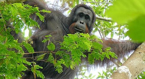 Selon Nature Conservancy, il resterait entre 50 000 et 60 000 orangs-outangs vivant à l'état sauvage dans le monde dont 80% en Indonésie et 20% en Malaisie.