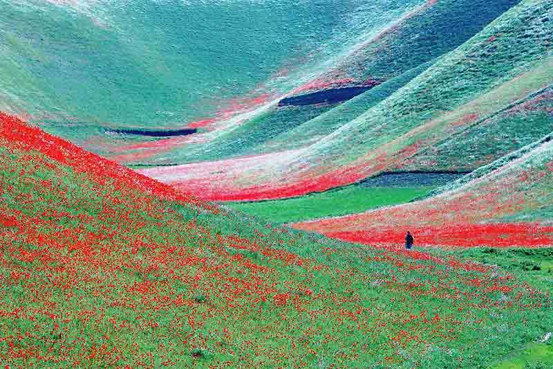 Cette année, les pluies qui se sont abattues au printemps sur la province de Jawzjan, dans le nord de l'Afghanistan, à l'ouest de la grande ville de Mazar-e Charif, ont permis la floraison de millions de coquelicots et autres fleurs sauvages à la frontière avec le Turkménistan. Une manne d'une beauté à couper le souffle qui prédit aux agriculteurs des vallées une belle récolte. À l'image de ce paysan qui inspecte lentement ses champs. Un îlot de paix aussi puisque la province de Jawzjan n'est pas l'un des terrains habituels de l'insurrection menée par les talibans, chassés du pouvoir à la fin 2001, qui est active essentiellement dans l'est et dans le sud du pays.