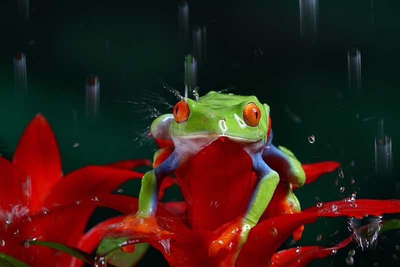 La rainette aux yeux rouges (Agalychnis callidryas) prend le frais sous les pluies tropicales d'Amérique centrale. Les passionnés, fascinés par ses étranges yeux vermillon, se l'arrachent pour la glisser dans leur terrarium. C'est grâce à ces yeux qu'elle échappe aux prédateurs quand elle se repose. En les ouvrant brusquement, elle profite de l'effet de surprise que provoque leur couleur pour s'enfuir. L'espèce n'est pas considérée comme menacée, mais la population de cet étrange batracien aurait déjà considérablement diminué, notamment dans la selva mexicaine.