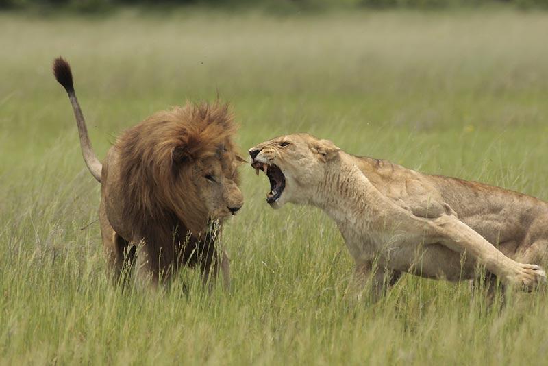 Cette lionne avait installé ses petits à l'abri, après leur naissance dans le Delta de l'Okavango. Un mâle trop curieux a voulu s'en approcher d'un peu trop près et se voit brutalement rappelé à l'ordre.