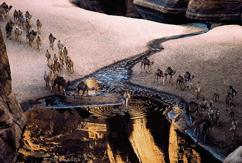 C'est une scène biblique. Un instant suspendu d'avant le Déluge et le grand voyage de Noé. Au fond des gorges d'Archei, le long de la bordure sud du massif de l'Ennedi, au Tchad, des centaines de dromadaires viennent s'abreuver aux gueltas, de profondes résurgences d'eau naturelles alimentées par les pluies d'été. Une manne dans une des régions les plus désertiques du monde. Jamais à sec, ces puits abritent une faune rare et préservée depuis des milliers d'années, reptiles, amphibiens et poissons, survivants de l'ère quaternaire humide. Un lieu de vie où cohabitent encore les animaux du désert et les hommes, qui s'efforcent de ne pas rompre leur fragile équilibre.