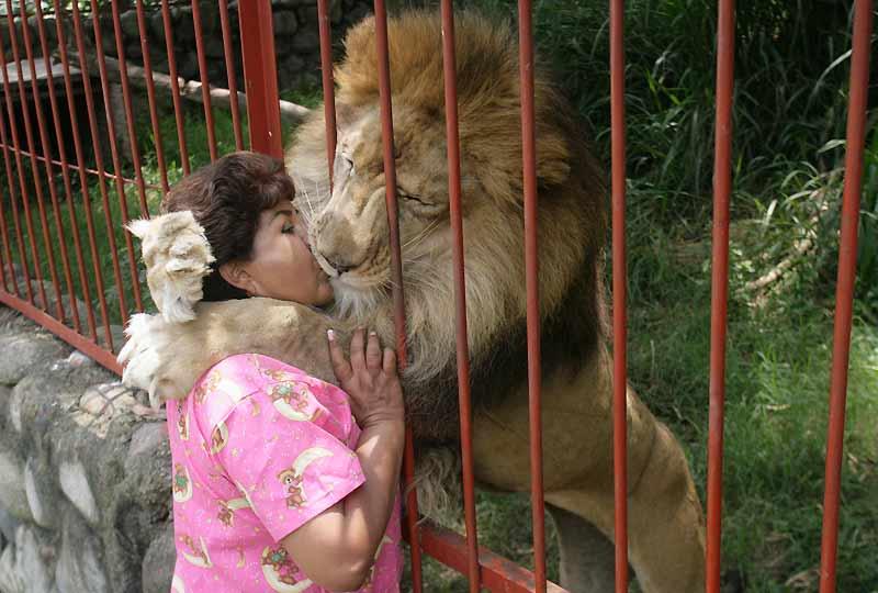 L'image a fait le tour des blogs et fasciné le monde entier. Chaque jour, Ana Julia Torres, une pasionaria colombienne de la cause des animaux, vient embrasser Jupiter, un lion qu'elle a sauvé il y a dix ans d'un cirque ambulant où il était maltraité. Recueilli, soigné et nourri dans sa Villa Lorena à Cali (Colombie), qui héberge environ 680 animaux, Jupiter coule désormais des jours tranquilles et ne rate jamais l'occasion de témoigner sa reconnaissance à sa bienfaitrice. Le centre accueille surtout des animaux victimes de mauvais traitements ou de violence, à l'image d'un de ses pensionnaires : un puma amputé des deux pattes avant pour le punir d'avoir griffé.