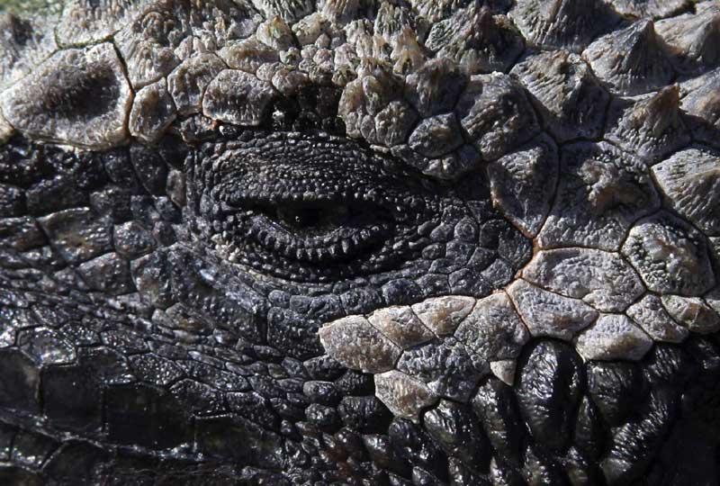 L'œil de cet iguane pourrait se refermer à tout jamais. En effet, l'Equateur vient d'inscrire les îles Galapagos sur la liste des patrimoines naturels en danger. Les bouleversements de l'écosystème et le tourisme de masse entraînent l'extinction de certaines espèces animales .