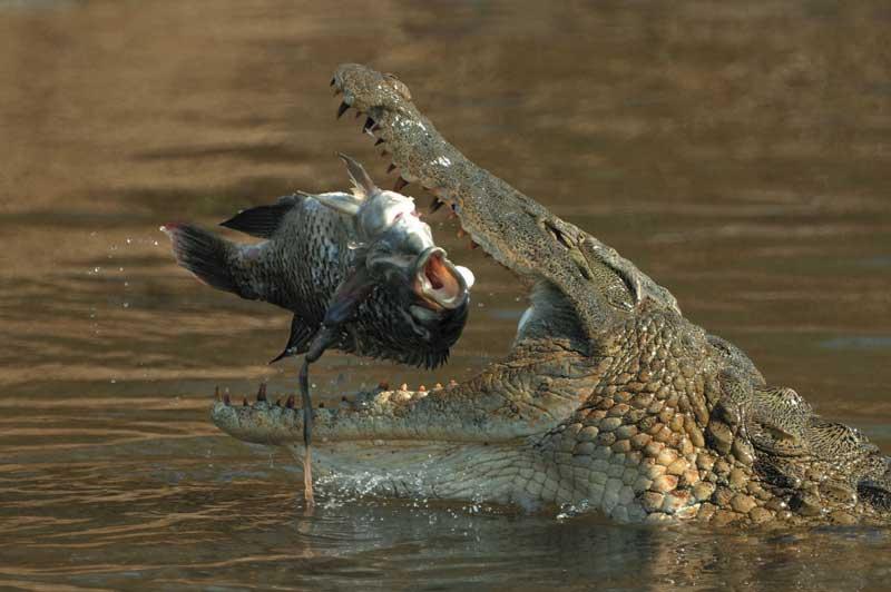 Dans le Parc National Kruger, en Afrique du Sud, un crocodile attrape au vol son déjeuner.