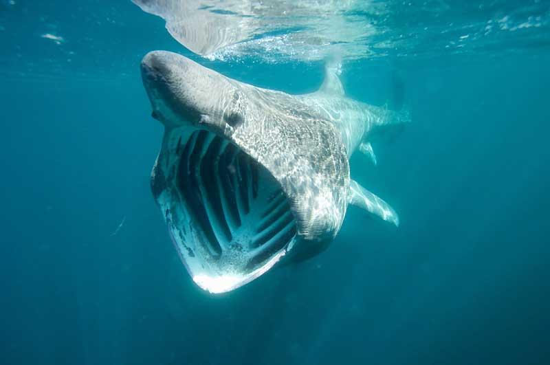 Ce requin surpris la gueule ouverte n'a pourtant rien d'agressif. Il se nourrissait de poissons sur les côtes de Cornouailles en Grande-Bretagne.