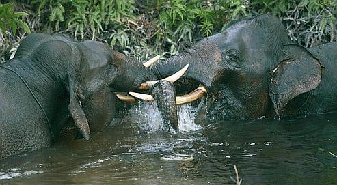 Les animaux se rapprochent des zones habitées à la recherche de nourriture.