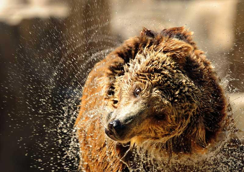 Les températures sont montées jusqu'à 36°C en Espagne, et cet ours brun du zoo de Madrid tente de se rafraichir malgré la canicule.