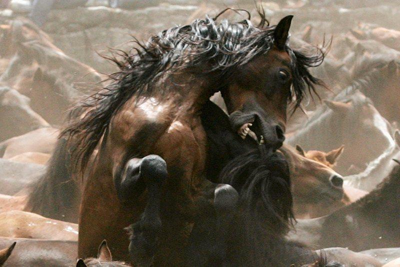 C'est la tradition. Chaque année, entre mai et août, les chevaux sauvages de Galice, introduits par les Celtes au VIIe siècle avant J.-C., sont regroupés pour les fêtes folkloriques rapa das bestas. C'est l'occasion de leur apporter des soins, de leur tailler la crinière et la queue, avant de les marquer au fer pour les identifier. Les plus beaux spécimens peuvent être vendus aux amateurs. Les poneys galiciens de pure race, environ 2 000 têtes, ne participent quasiment jamais à ces réjouissances. Le manuel des éleveurs du cabalo de pura raza galega interdit en effet la plus petite maltraitance, y compris le marquage au fer rouge.