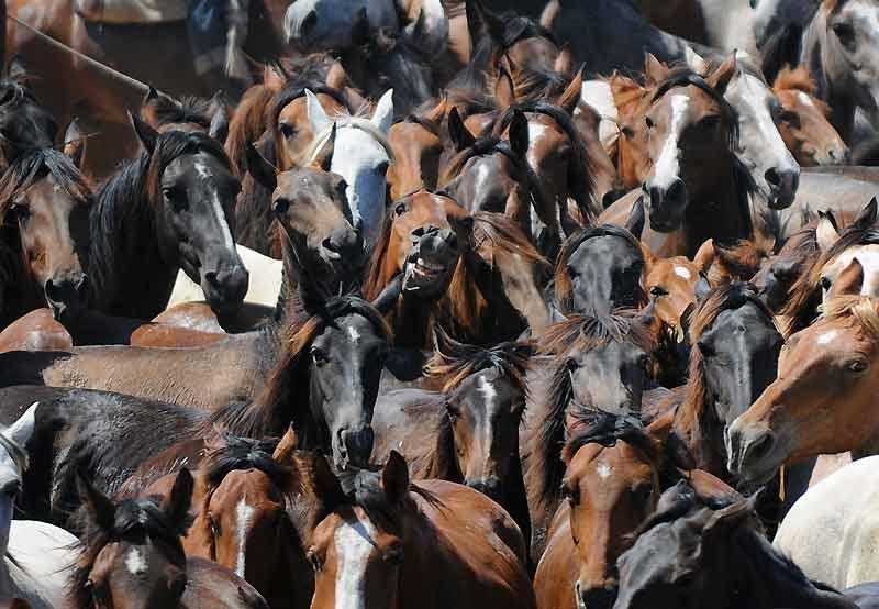 Le haras qui rit ! Des troupeaux de chevaux vivants toute l'année dans la réserve naturelle de Doñana se préparent à être déplacés vers le village d'Almonte, dans le sud de l'Espagne où ils seront bénis.