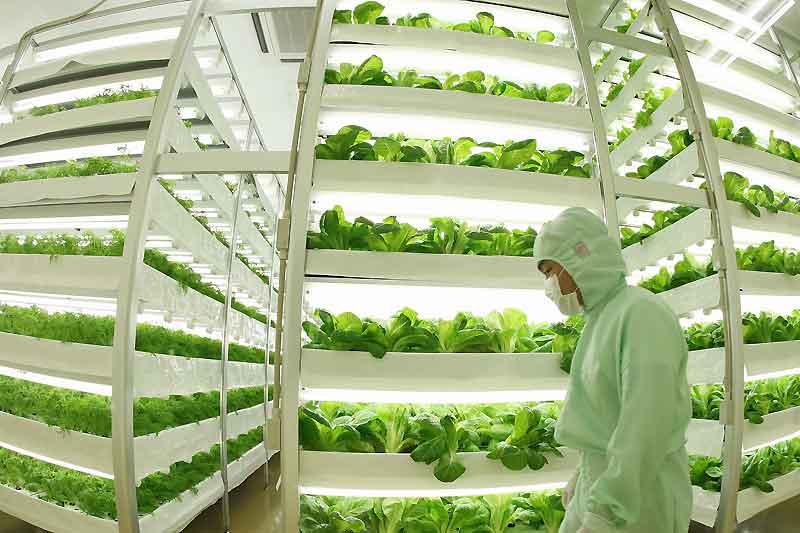 Tokyo. Pour pallier les difficultés de l'agriculture japonaise, des végétaux sont cultivés en usine. La lumière, la température et l'humidité sont strictement contrôlés.