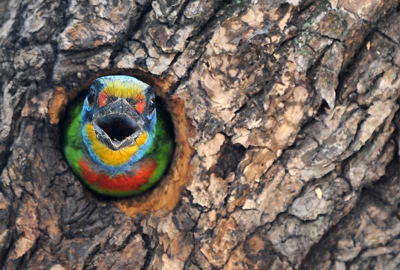 Surprise dans les rues de Taipei. Un oiseau de Taiwan que l'on trouve habituellement dans les forêts d'altitude a fait son nid dans un arbre de la ville.