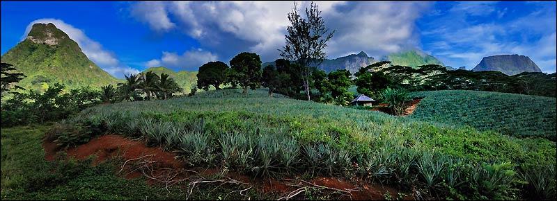 L'ananas, dont voici un champ, est si emblématique de Moorea qu'on le trouve en motifs décoratifs sur les paréos.