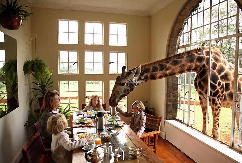 Un hôtel pas comme les autres pour passer ses vacances. Le Manoir aux Girafes, près de Nairobi, permet aux visiteurs de partager leur séjour avec le plus haut mammifère du monde qui va jusqu'à s'inviter aux repas.