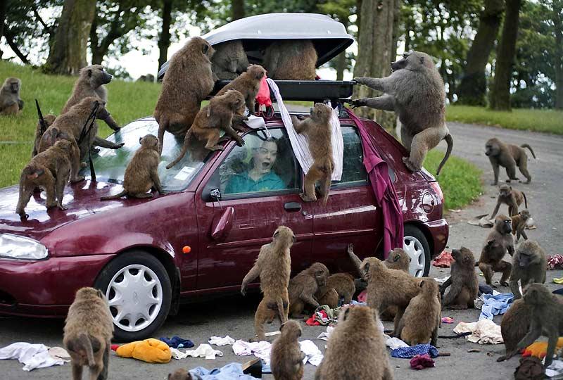 Faites attention à vos effets personnels si vous décidez de vous rendre dans des zoos à ciel ouvert. Cette touriste l'a appris à ses dépens en se rendant au Parc de Knowsley, près de Liverpool. Sa voiture a littéralement été prise à partie par des dizaines de babouins qui ont vidé son coffre et dispersé ses vêtements.