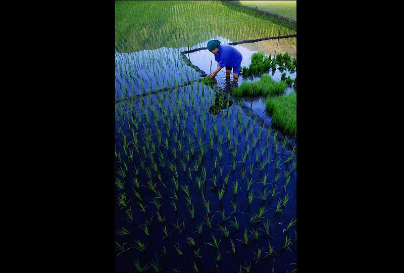 Avec moins de 4 millions d'hectares de rizières (ici, à Hapao), 22 typhons par an et une consommation annuelle de 100 kilos par habitant, les Philippines sont devenues le premier importateur de riz.