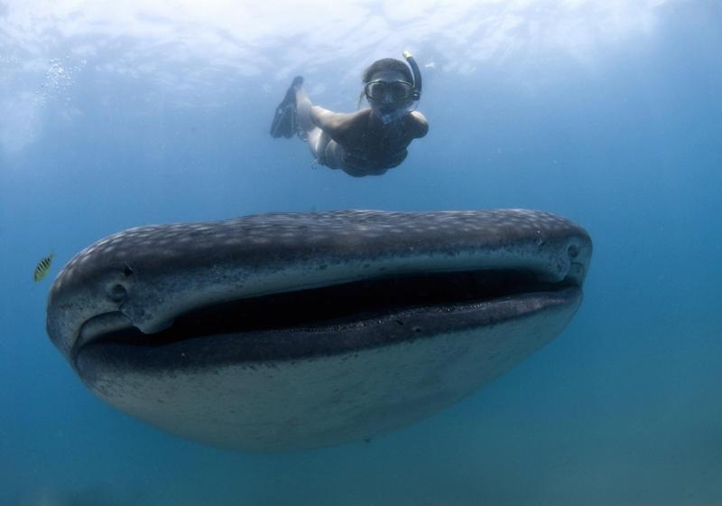 Ce cliché rare d'un requin-baleine a été pris au large de l'Afrique du Sud, par une nageuse intrépide baptisée Fiona Ayerst. Malgré sa taille impressionnante - il mesure 12 mètres de long - ce géant des mers n'est pas dangereux pour l'homme : il se nourrit de plancton.