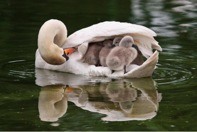 Une «maman» cygne abrite sa nombreuse progéniture sous son aile, dans le Jardin botanique de Bicton, au Royaume-Uni. Selon l'auteur du cliché - un visiteur du parc - les six cygneaux avaient joué tout l'après-midi et trouvaient ainsi le moyen de se reposer.