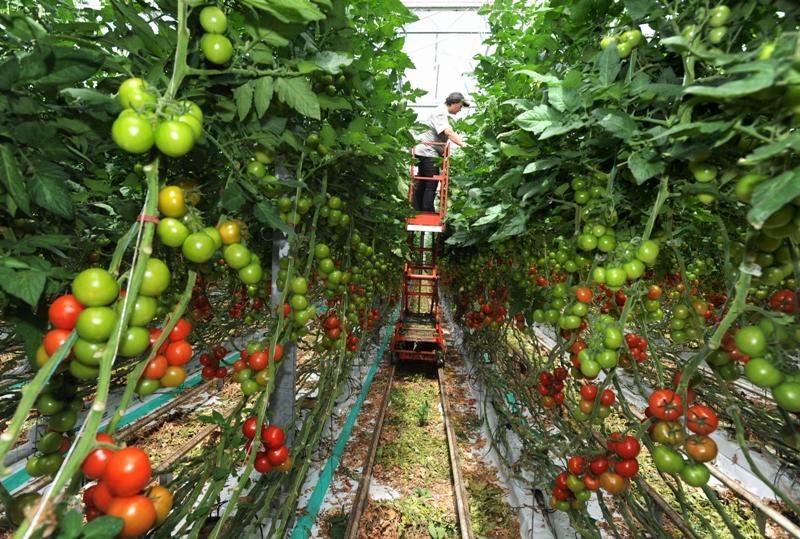 Ramassage de tomates à la ferme de La Brazadière, à Mordelles près de Rennes le 5 août. Le ministre de l'Agriculture Bruno Le Maire a annoncé en début de semaine que les producteurs français de fruits et légumes ayant bénéficié de subventions entre 1992 et 2002 - aides contestées par l'Union européenne - allaient devoir participer au remboursement de quelque 500 millions d'euros.