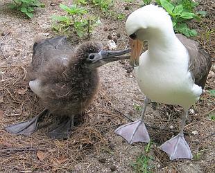 Splendides oiseaux océaniques dont l'envergure peut atteindre jusqu'à 3,5 mètres, les albatros sont parmi les plus menacés.