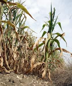 L'ensemble des filières : culture (ici celle du maïs), élevage et viticulture sont touchées par la sécheresse.