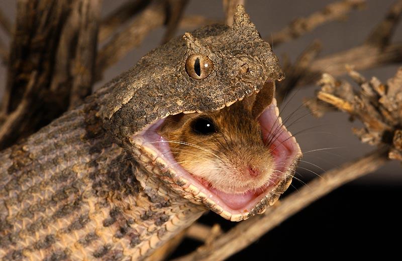 Aucune chance. Ce rongeur est déjà mort, étouffé par les anneaux du serpent qui le dévore. Appelée aussi fausse vipère à cornes, Pseudocerastes persicus peut atteindre en moyenne une longueur de 60 à 80 cm. Ce serpent difficile à observer est presque exclusivement nocturne. Mais lors des périodes fraîches de l'année, il se fait moins rare à l'aube ou en début de soirée. Peu agressive, cette vipère endémique des régions désertiques de l'Iran produit un fort sifflement lorsqu'elle est dérangée. Ovipare, elle pond de 11 à 21 oeufs. Sa morsure, très douloureuse, injecte un venin provoquant des hémorragies.