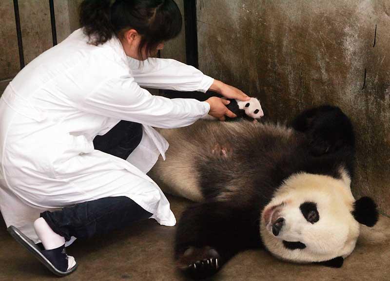 Le 18 août dernier, cette maman panda a donné naissance à deux petits. Après avoir été prise en charge par le Centre de Recherche sur le Monde Animal de Zhouzhi, cette soigneuse chinoise aide à l'allaitement du nouveau-né, le 18 septembre.