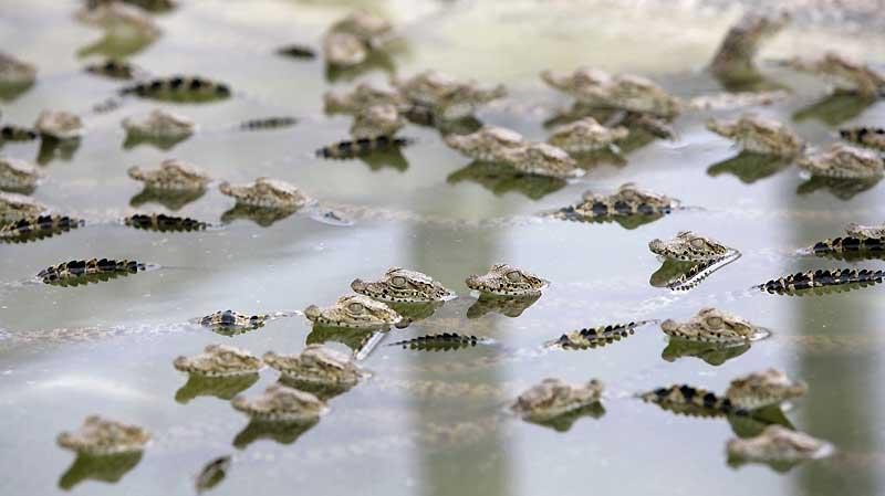 Naissances par dizaines de bébés crocodiles à «La Boca», dans le parc national cubain de Cienaga. Avec 1,5 million d'hectares, il s'agit d'une des plus grandes réserves au monde de biodiversité.