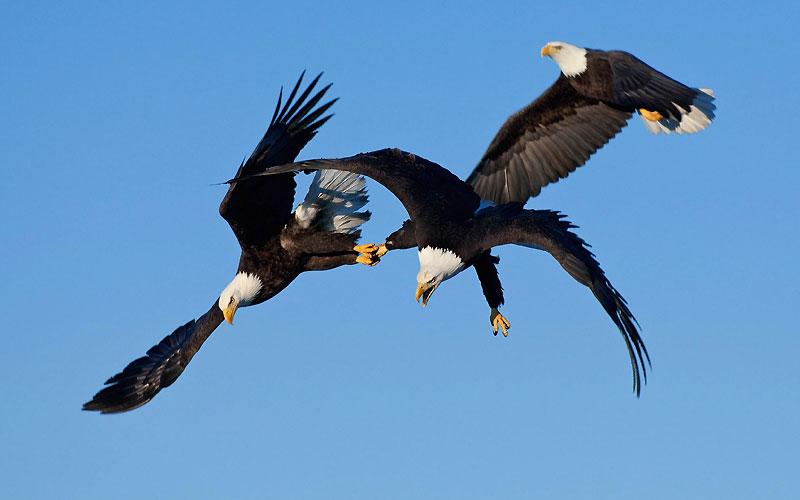 En Alaska, ces trois aigles royaux américains s'apprêtent à plonger en piqué pour attraper des poissons dans une rivière.