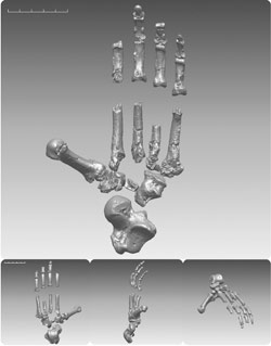 Le squelette de la main de «Ardi».