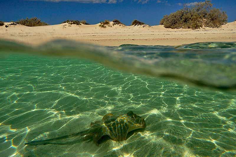 Une raie pastenague a surgi dans un froufrou de sable et d'eau. La voici en quête de nourriture dans moins d'un mètre d'eau, tout au bord de la plage.