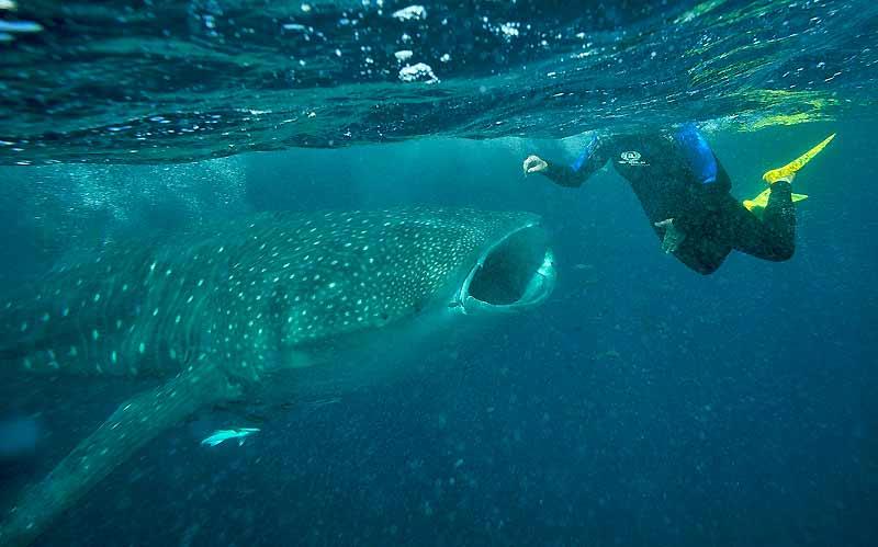 Impressionnant, mais inoffensif, un requin-baleine s'avance pour filtrer l'eau et ne garder que les micro-organismes dont il se nourrit.