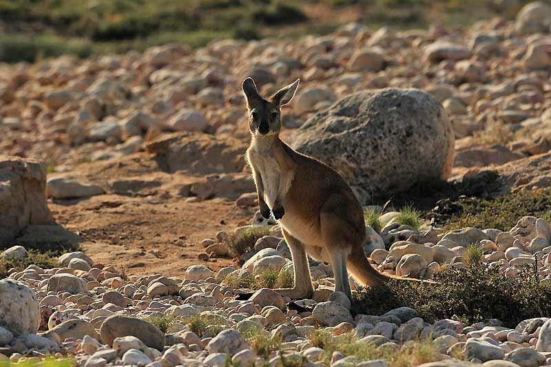 Kangourous et wallabys sont légion à Ningaloo, surtout à la tombée de la nuit, quand ils gagnent les plages pour se nourrir d'algues.