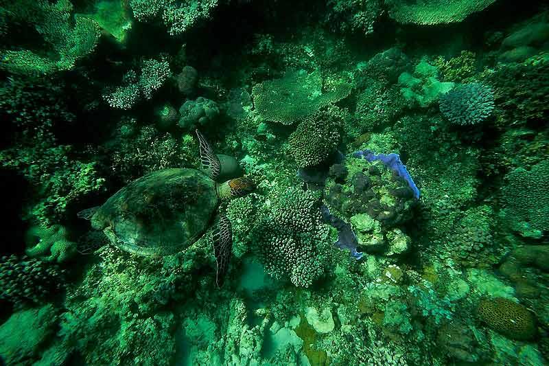 Cette tortue verte se fond parfaitement dans les formations coralliennes. Seules ses nageoires la trahissent.