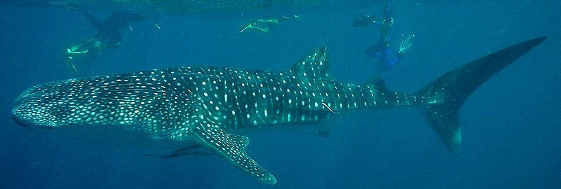 Le bateau d'Ocean Eco Adventures vient d'égrener les nageurs le long de la trajectoire d'un requin-baleine. Le voici enfin !