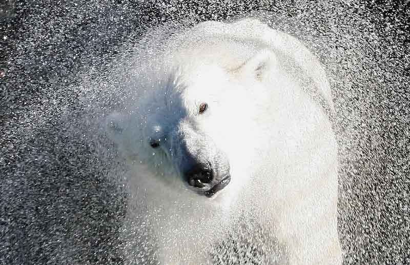 Même si cela ne saute pas aux yeux sur la photo, cet ours blanc de 7 ans est très content. Pensionnaire du zoo de Krasnoïarsk, en pleine Sibérie, il vient en effet de récupérer sa piscine personnelle, en travaux depuis août ; juste à temps pour éviter un record de chaleur inhabituel (20 °C le 4 octobre !) au coeur d'une région réputée pour la fraîcheur de ses températures : entre – 15° et – 52 °C en janvier, par exemple... «Commandant Sedov» a donc pu reprendre ses plongeons (dont un «saut de l'ange», paraît-il, fameux dans toute la Russie) suivis de vigoureux exercices d'essorage, nettement moins dangereux à photographier dans un zoo que sur la banquise.