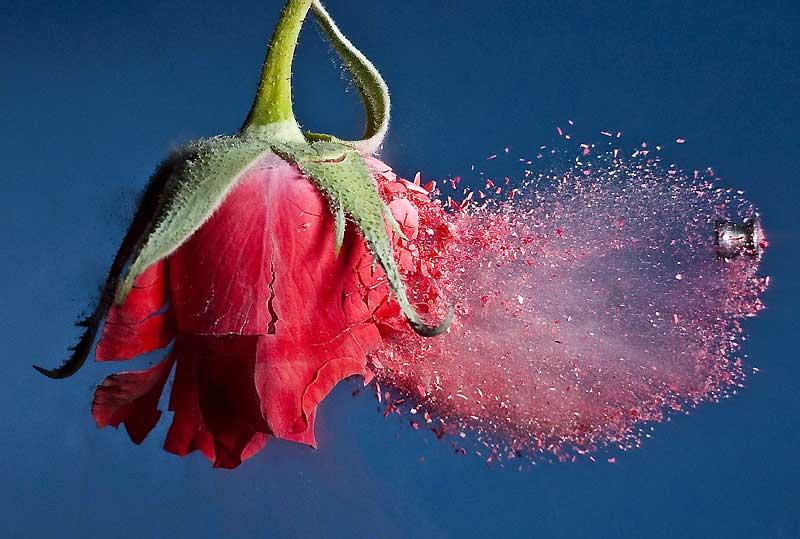 Cette image saisissante d'une rose rouge traversée par un projectile tiré par une carabine à air comprimé de haute précision est un exploit technologique sans précédent. Pour la réussir, le photographe américain Alan Sailer a utilisé les grands moyens. Propulsé à la vitesse de 200 mètres/seconde, le plomb a d'abord traversé un faisceau laser, déclenchant alors un flash alimenté par 17 000 volts capable de geler la scène à 1 millionième de seconde en restituant l'explosion des pétales de rose en milliers d'écailles. Une technique qui lui a déjà permis de photographier l'explosion d'une noix, d'une tomate ou d'un crayon de couleur.