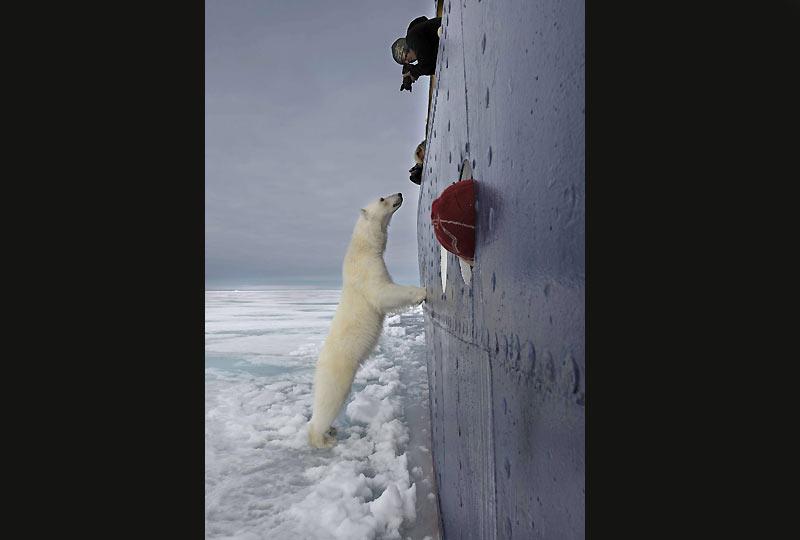 Amusé, curieux ou tout simplement attiré par les très appétissants effluves de la cuisine du bord, un ours polaire mitraillé par les touristes d'un bateau de croisière dans les eaux de l'archipel du Spitzberg a décidé de s'inviter à dîner et d'inspecter les lieux que le cuisinier venait d'aérer. Plus gourmand qu'agressif, l'ours, toutes narines dehors, s'est gorgé d'odeurs avant de renoncer à forcer le passage. Spectaculaire, ce genre d'incident n'est pas rare au Spitzberg où le tourisme animalier ne cesse de se développer. Excellent nageur et très agile, ce plantigrade peut rejoindre facilement les navires et tenter de monter à bord.
