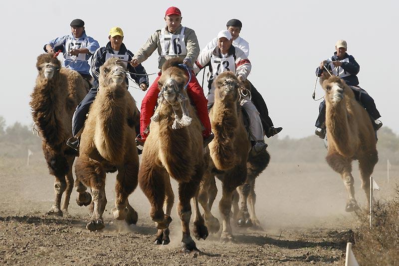 Une course de dromadaires pas comme les autres, perdue au milieu des steppes d'Astrakhan, en Russie, en hommage au ministre russe de l'agriculture, dimanche 18 octobre.