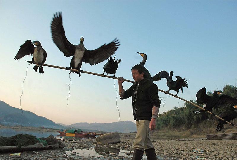 Dans le Guanxi (Chine), la rivière Li nourrit la population en poisson. Les pêcheurs, en équilibre sur de frêles radeaux en bambou, n'utilisent ni le filet, ni l'hameçon, mais le cormoran, cet oiseau palmipède noir aux reflets métalliques bleutés qui pêche pour eux.