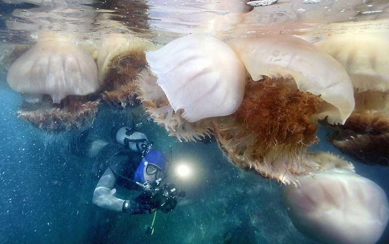 Un plongeur nage avec de gigantesques méduses d'environ un mètre de diamètre au large de la ville d'Echizen, au Japon, samedi 31 octobre. Les pêcheurs locaux affirment qu'elles sont, cette année, plus petites que d'habitude mais sont présentes en plus grand nombre.