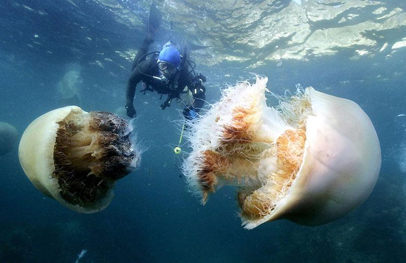 Devant les yeux de ce plongeur, des géantes. Ces méduses d'Echizen, du genre Cyanea, peuvent en effet peser jusqu'à 200 kilos et atteindre plus de 2mètres de diamètre. Chaque année davantage, elles empoisonnent la vie des pêcheurs japonais, qui ne savent plus quoi faire face à l'envahissement de leurs pêcheries par leurs gigantesques bancs. Un phénomène mondial qui inquiète de nombreux chercheurs. En effet, les méduses pullulent à présent en mer du Nord, en mer Rouge, en mer Baltique et même le long de la côte méditerranéenne. Pour l'instant, aucune raison scientifique ne permet d'expliquer cette prolifération spectaculaire.