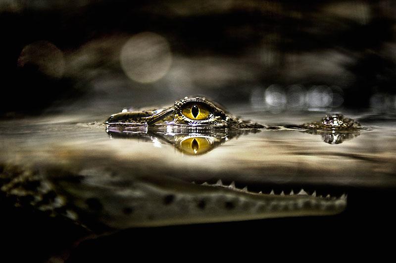 Entre deux eaux, les mâchoires ouvertes, prêtes à se refermer sur leur proie, un crocodile photographié ici au Botswana est à l'affût. Malgré son nom, le crocodile du Nil (Crocodylus niloticus) est présent dans la plupart des pays d'Afrique et se trouve dans des habitats très diversifiés : lacs, fleuves, marais d'eau douce ou d'eau saumâtre. Opportuniste, il se nourrit aussi bien d'invertébrés aquatiques que de poissons et d'amphibiens. Mais i l peut aussi s'attaquer à des antilopes, des buffles ou de jeunes hippopotames. Sa réputation de mangeur d'hommes n'est pas infondée ; bien qu'il n'existe aucune statistique sur sa dangerosité réelle.