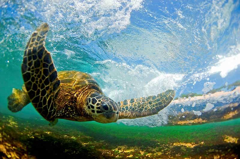 Majestueuse et magnifique tortue de mer. Cette belle hawaïenne danse à l'intérieur d'une vague déferlante, avant de rejoindre le rivage pour manger et dormir.