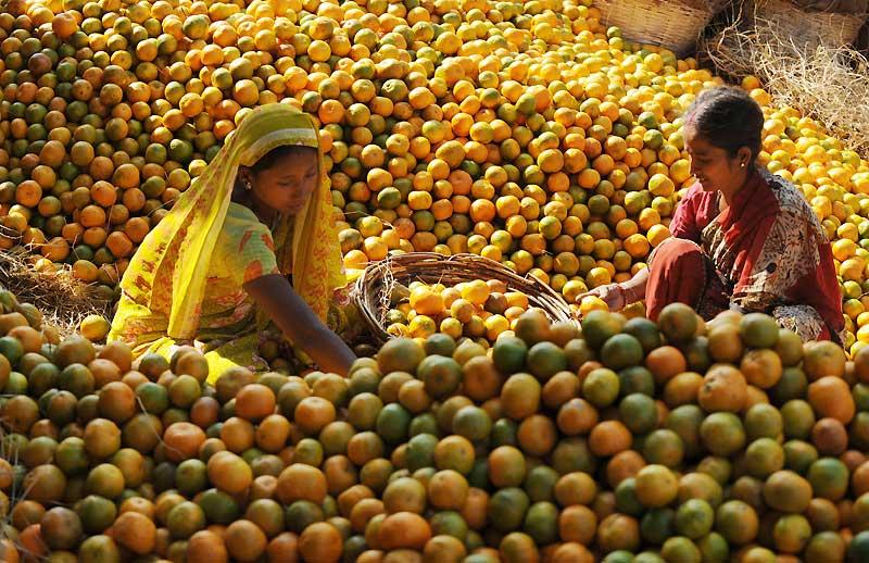 Des travailleuses indiennes trient des oranges pour les vendre sur des marchés à Siliguri, lundi 23 novembre. Ces fruits sont ensuite exportés vers des pays voisins comme le Bangladesh et le Bhoutan dans l'objectif de renforcer l'économie locale.