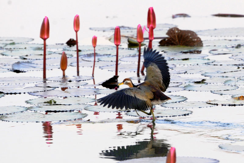 Un oiseau migrateur glissant sur des feuilles de plantes aquatiques qui décorent le lac de Jahangirnagar, près de Dhaka au Bangladesh, mardi 24 novembre.