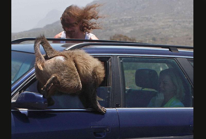 Le Cap, Afrique du Sud. Les visiteurs qui se rendent dans la région du Cap et s'inquiètent du taux élevé de criminalité en Afrique du Sud pourraient bien être victimes de bandes de malfaiteurs bondissants et poilus : les babouins. Les singes ont appris à ouvrir les portes des voitures et sauter par les fenêtres pour voler sandwiches et autres casse-croûte mais surtout à effrayer les passagers, comme ici, mardi 24 novembre.