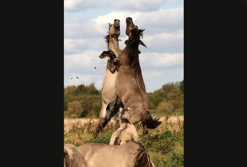 Étonnant combat de deux étalons dans la ville de Cambridge, en Grande-Bretagne. Ces chevaux, de la race des Konik, sont utilisés pour la gestion écologique de nombreux parcs et réserves naturelles en raison de leur rusticité.