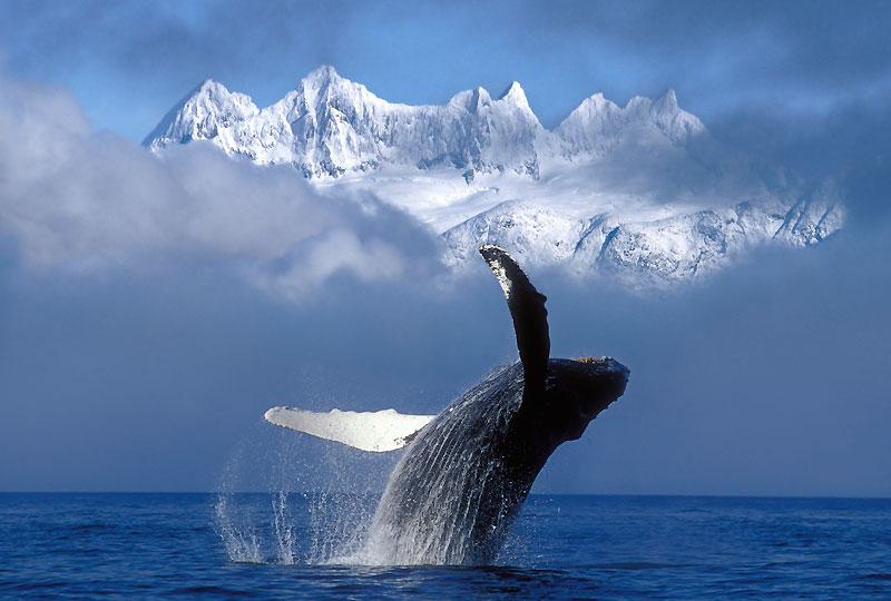 Alors que s'ouvrira lundi le sommet de Copenhague, qui doit aboutir à un accord international pour réduire les gaz à effet de serre, une baleine à bosse (Megaptera novaeangliae) plonge dans l'océan face aux montagnes enneigées du glacier de Mendenhall, en Alaska. Ces cétacés, qui peuvent atteindre 13 à 14 mètres de long et peser en moyenne 25 tonnes à l'âge adulte, se nourrissent exclusivement pendant l'été et vivent sur leurs réserves de graisse pendant l'hiver. Désormais protégée après une chasse intense, leur population est passée d'un minimum de 20 000 individus lors du moratoire de 1986 à environ 35 000 aujourd'hui. L'espèce est peut-être sauvée.
